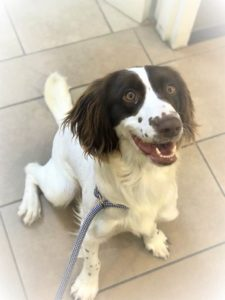 Happy Pipit, an English Springer Spaniel trained to detect rats on ships.