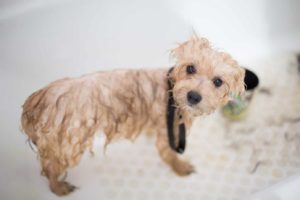 Wet dog is groomed. Reduce dog grooming stress by preparing your dog, staying calm, rewarding your dog, and tiring your dog out before you go.