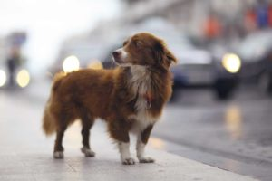Stray dog stands on busy street
