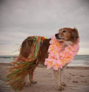 Golden retriever wears grass skirt and lei. DIY dog clothing options includes coats, collars, and costumes.