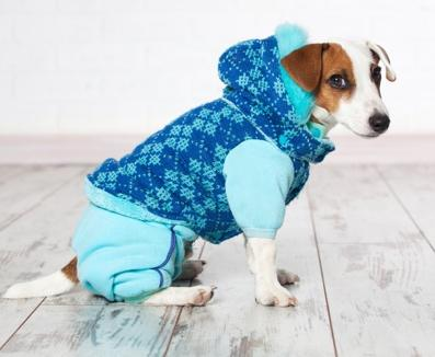 Jack Russel terrier wears a winter coat. DIY dog clothing options includes coats, collars, and costumes.