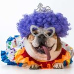 Dress your bulldog up in a DIY Halloween costume.