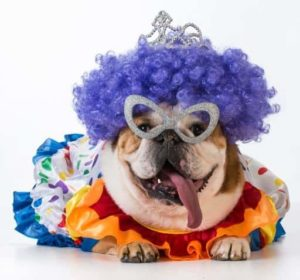Bulldog wears a Halloween costume. DIY dog clothing options includes coats, collars, and costumes.
