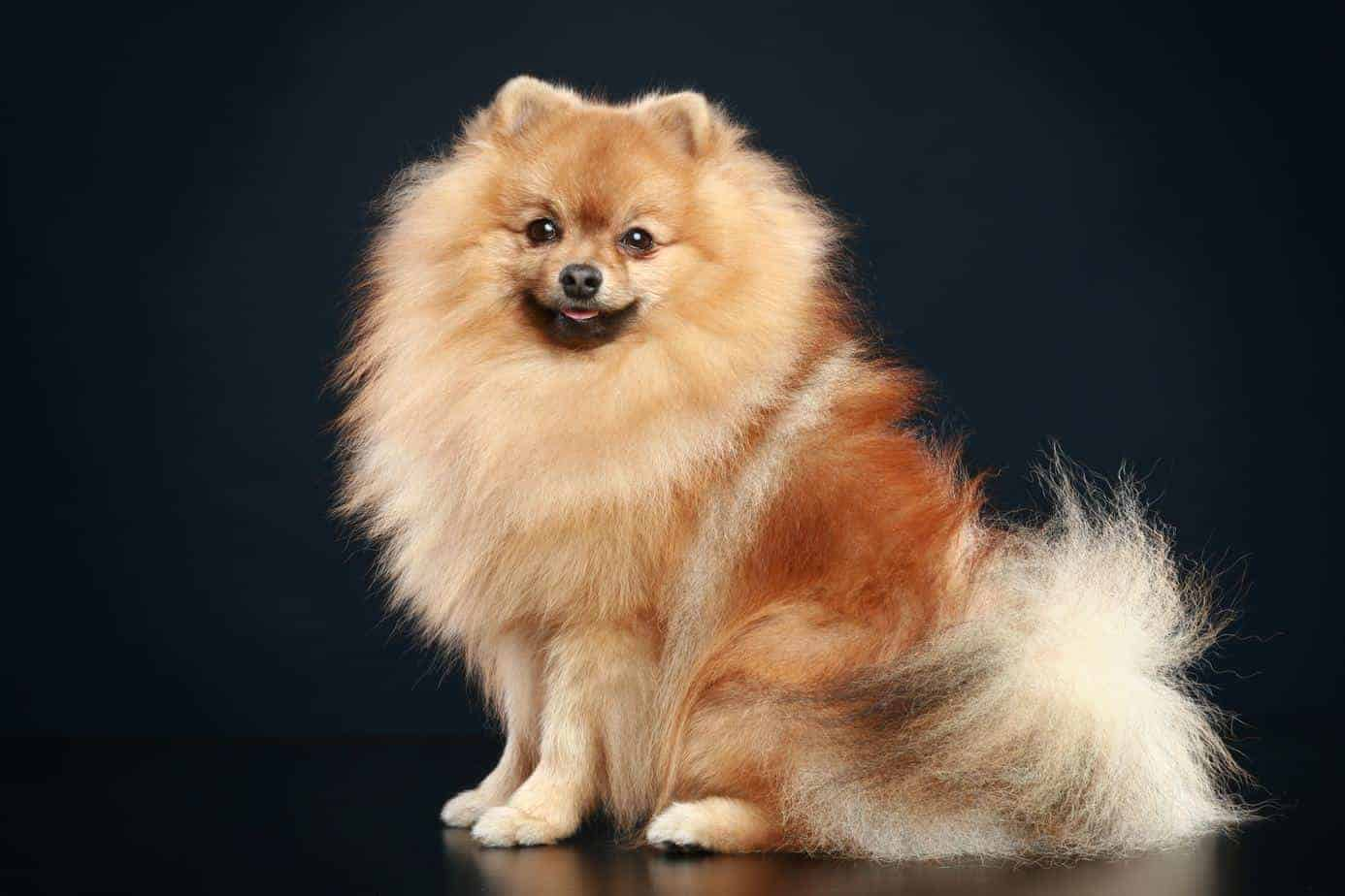 The German Spitz, with its foxlike face and fluffy double coat, is an easy-to-train dog who is eager to please.