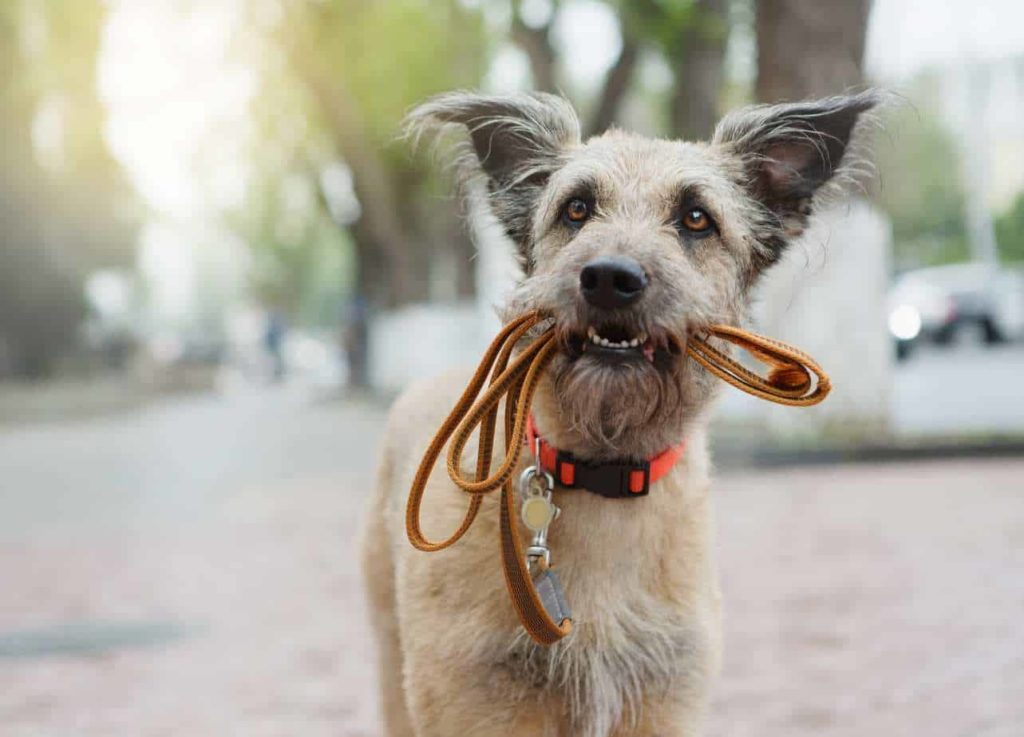Dog holds leash in mouth while waiting for walk. Responsible dog owners walk their dogs every day.
