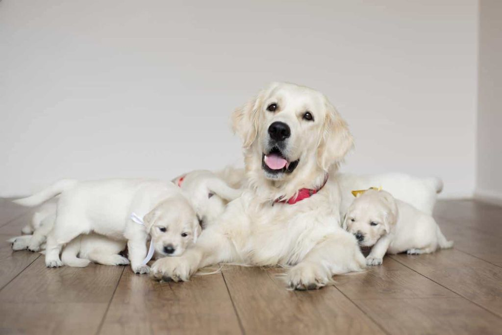 Golden retriever puppies. Goldens are among the most popular dog breeds.