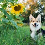Happy corgi poses next to sunflower. Sunflowers are dog-safe plants that add vibrant color to any yard.