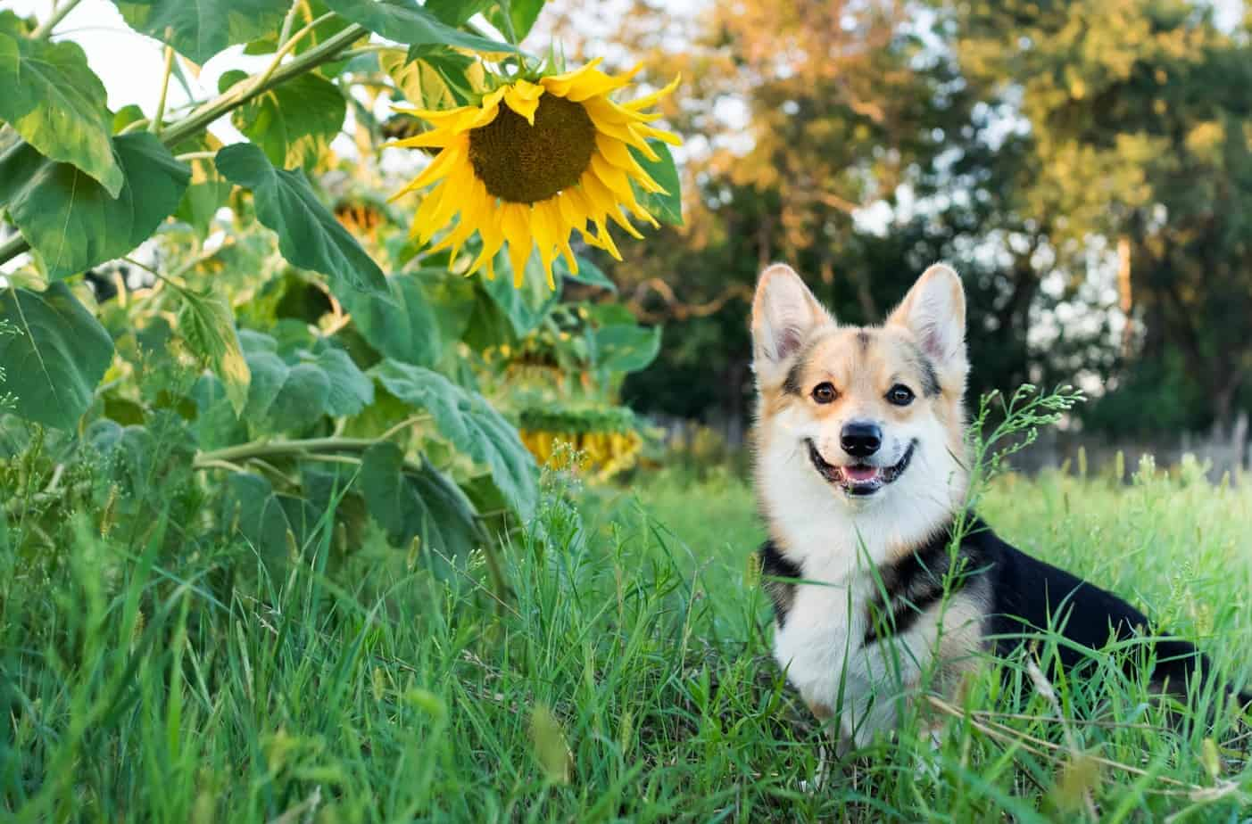 Dog Safe Plants Include Roses Sunflowers And Thyme