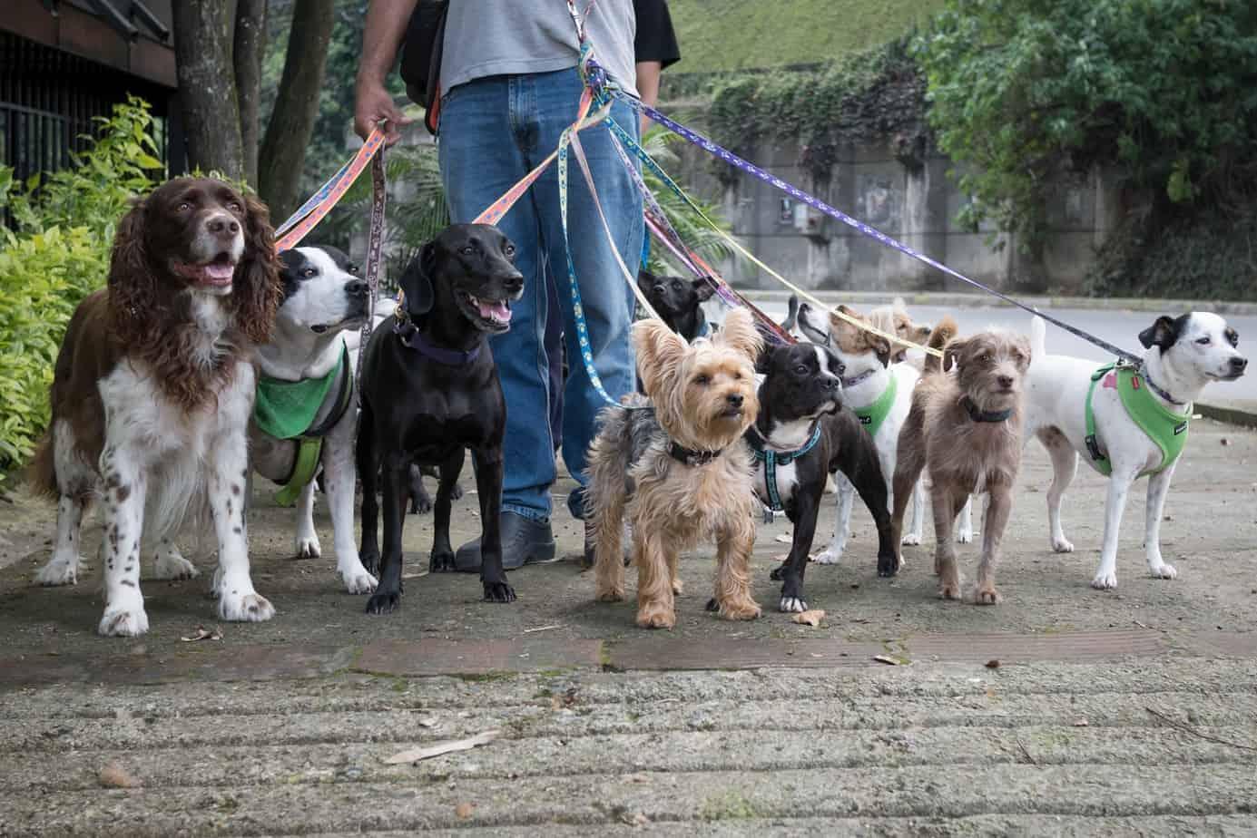 Dog walker controls several dogs. Dog walker vs. pet sitter: Determine your dog's needs.