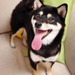 Happy Shiba Inu sits on couch. Use pet-friendly pest control to protect your dog.