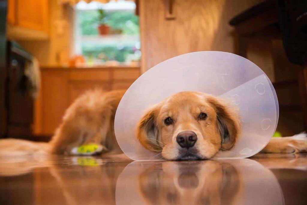 Injured golden retriever with a bandaged foot wears a e-collar. Consider options to tackle unexpected vet bills. If you put the expense on your credit card or take out a loan, be aware of the repayment terms.