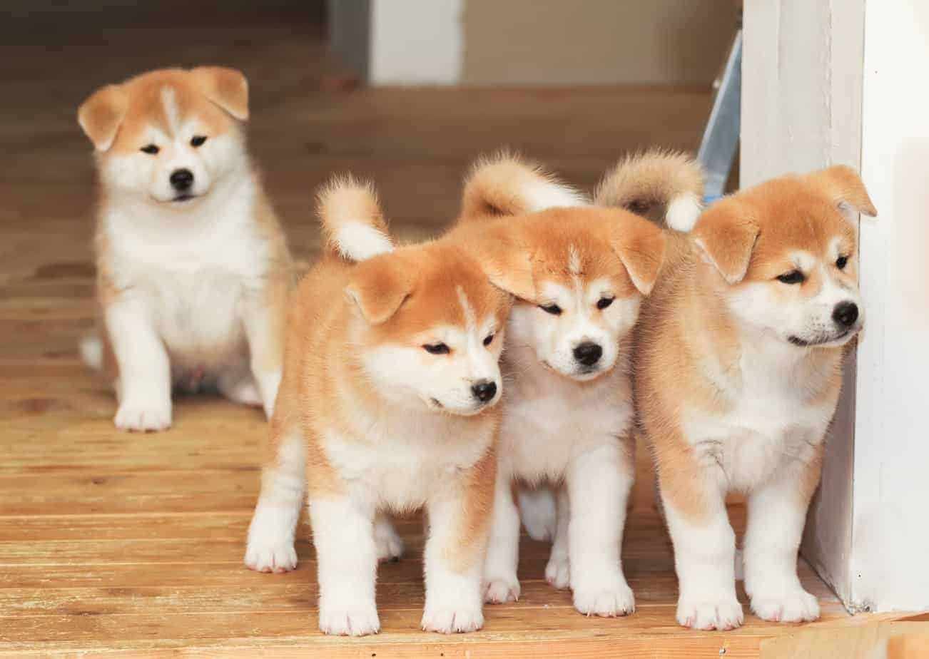Cluster of four Akita puppies. The Akita has a royal pedigree to match its noble looks.