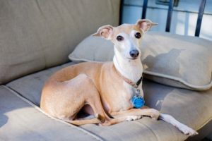 An Italian greyhound sits on a sofa. The Italian Greyhound is one of the low maintenance dog breeds