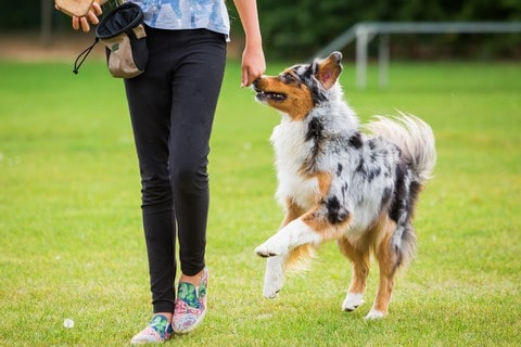 Girl trains Australian Shepherd.