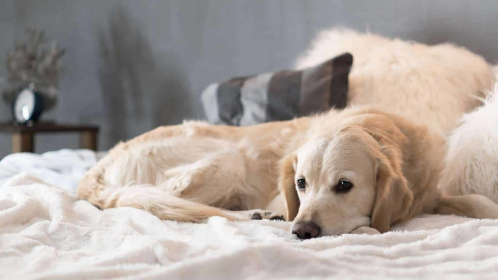 Sick golden retriever rests on bed. Golden retrievers are among the breeds prone to canine cancer.