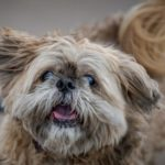 Old shih tzu runs on the beach. Canine Cognitive Dysfunction, also known as dog dementia, affects 50% of dogs 11 and older.