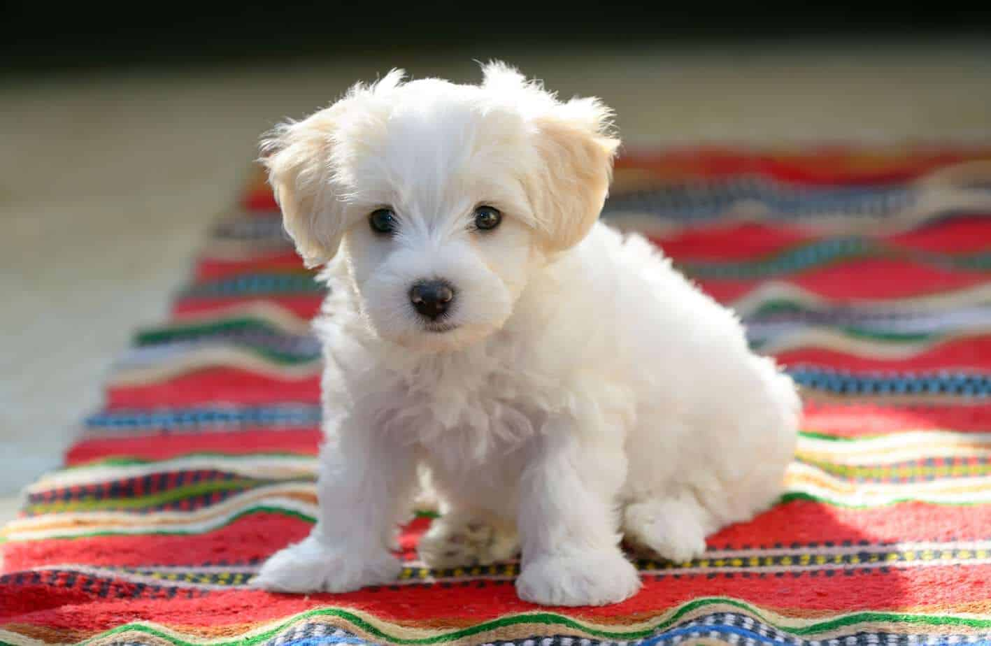 Maltese puppy sits on a striped rug. Creating a daily routine for dogs makes it easier to take care of them, potty train, and reduce separation anxiety fears.
