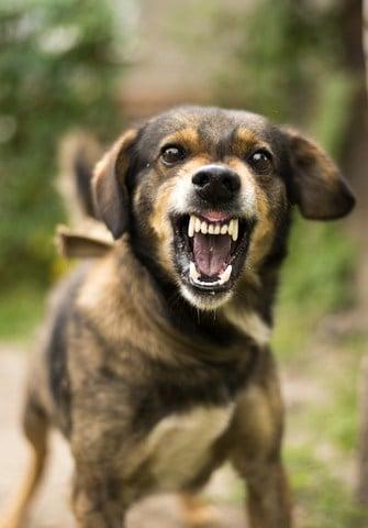 Angry dog bears his teeth. Dog bite dangers include rabies, tetanus, and MRSA.
