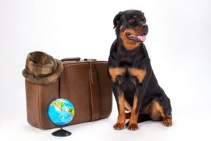 Rottweiler sits with suitcase and a globe. With just a little bit of planning, you and your pooch will have tons of fun on your dog-friendly summer vacation.