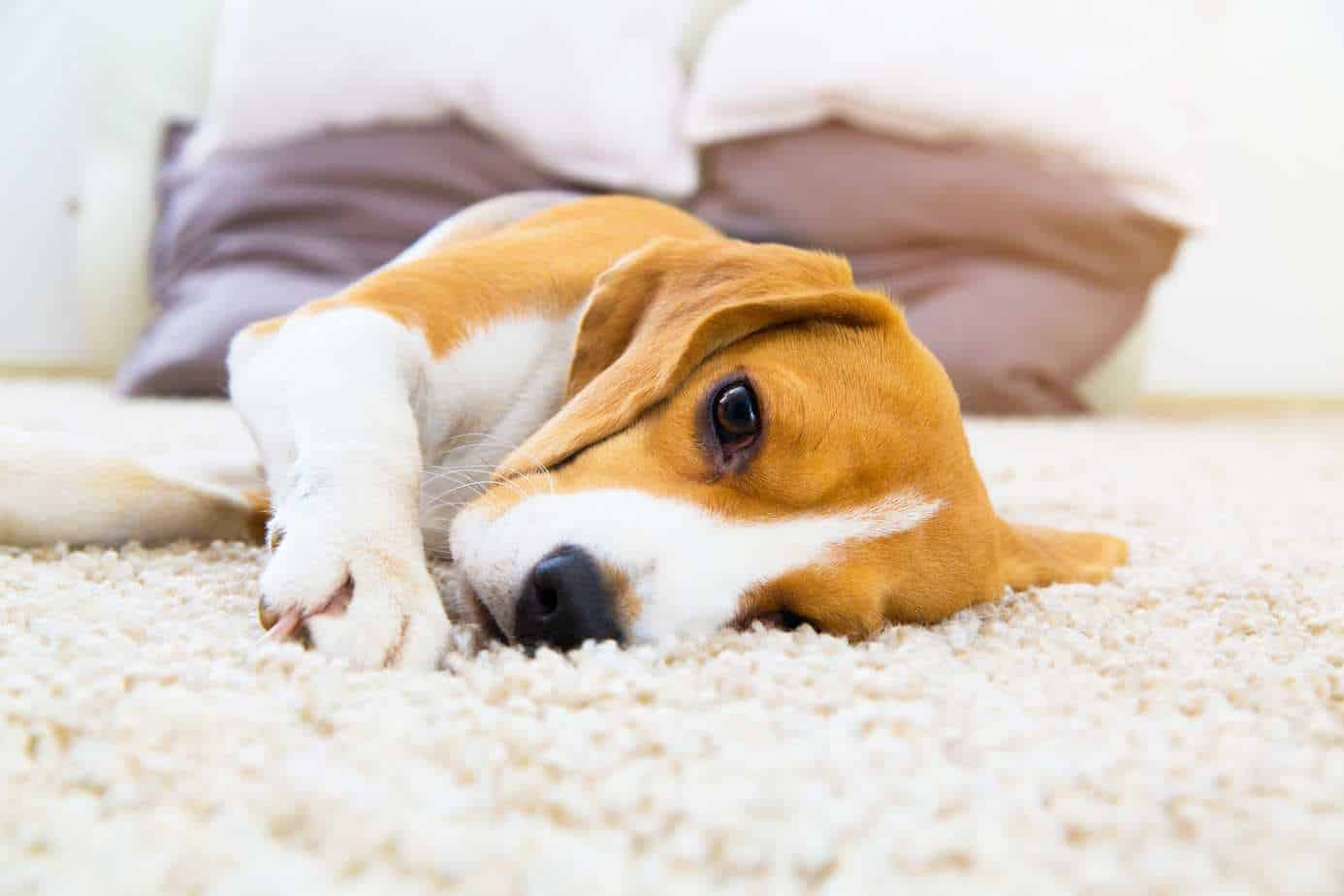 Sick beagle lies on the floor. Watch your pup for dog illness symptoms.