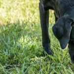 Black Labrador sniffs grass. Dogs eat poop for a variety of reasons.