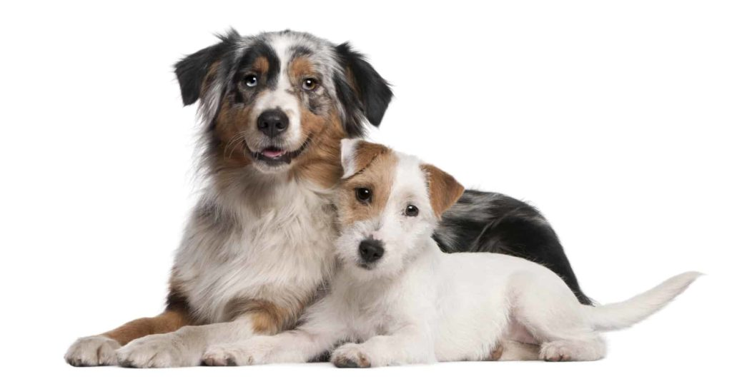 Australian Shepherd and Jack Russell Terrier snuggle. If you're adopting a dog gender matters with a second dog.