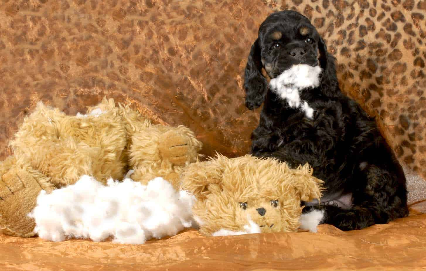 Black cocker spaniel sits on a couch with a destroyed toy. Stuffing from plush toys is a household danger for dogs.
