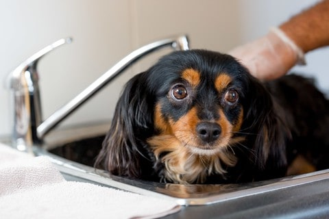 Cavalier King Charles Spaniel gets a bath. Cavaliers are considered low maintenance dogs.