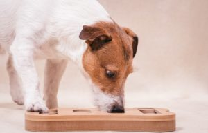 Jack Russell Terrier sniffs out treats in puzzle toy, which provides mental stimulation for dogs.