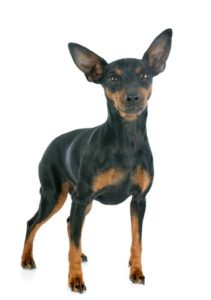 miniature pinscher on a white background. The Miniature Pinscher is one of the low maintenance dog breeds