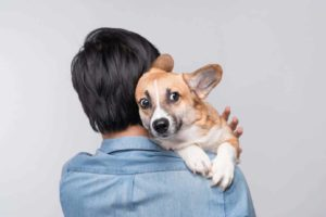 Man holds nervous corgi. Studies show owners stress dogs.