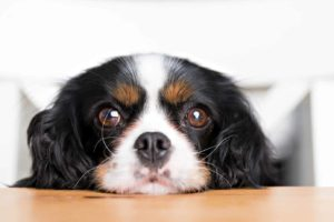 Cavalier King Charles Spaniel gives his owner puppy dog eyes, powerful dog facial expressions.