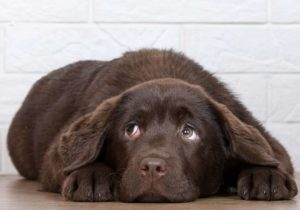 Chocolate Labrador retriever raises his eyebrows to create the soulful, puppy-dog look, a common dog facial expression.