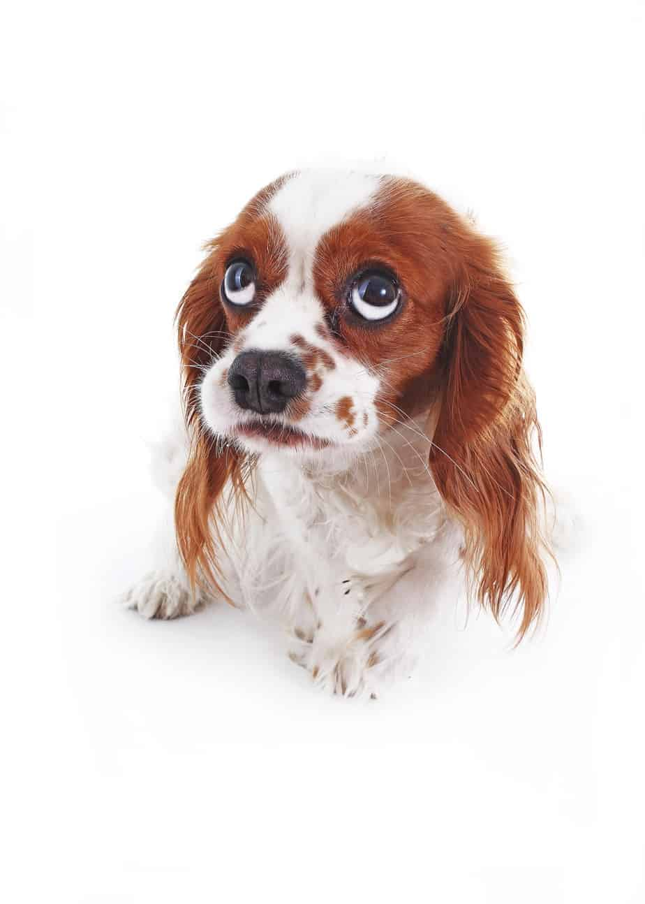 Nervous Cavalier King Charles Spaniel on white background. Try natural remedies to reduce anxiety in dogs before turning to medication.