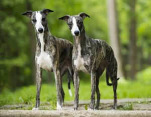 Two whippets stand in a forest. The Whippet is one of the low maintenance dog breeds