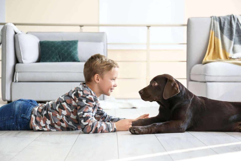 Boy plays with chocolate Labrador retriever. Labradors are ideal active family dog breeds.