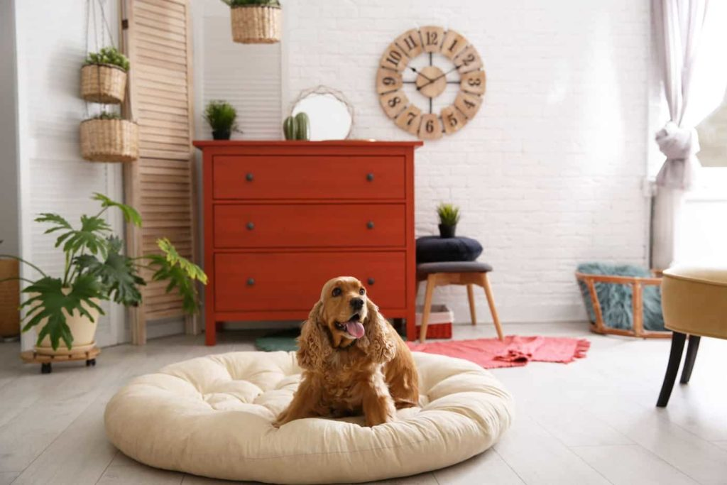 Cocker spaniel lounges on a large dog bed. Consider these dog room ideas if you want to dedicate space in your home for your dog.