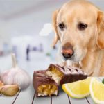 Golden retriever with dangerous foods for dogs onions, garlic, chocolate, and lemons.