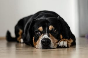 Old dog lying on the floor. Learn to recognize the signs and prepare to euthanize your dog.