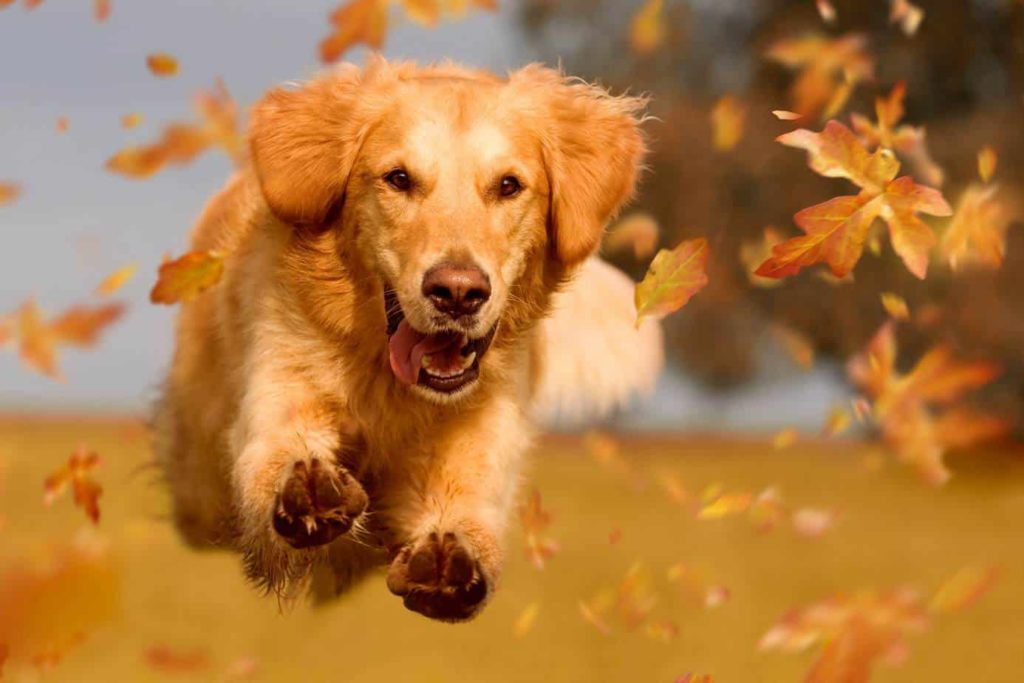 Golden retriever runs in leaves.