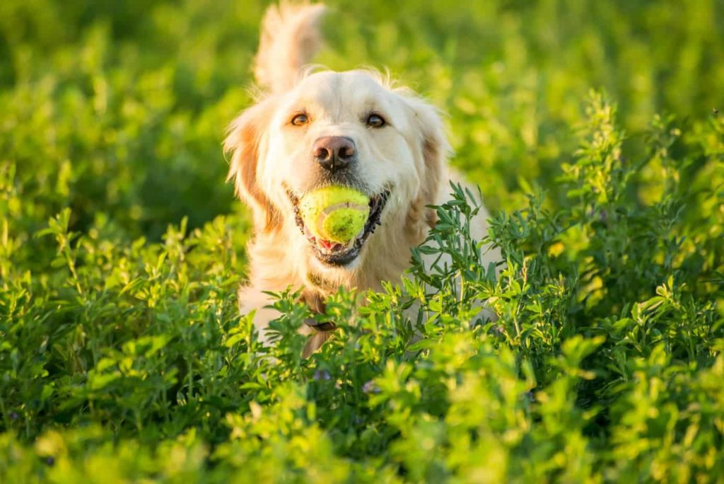 Golden retriever plays fetch.