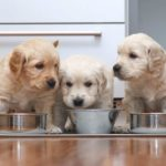 Golden retriever puppies eat from metal food bowls.