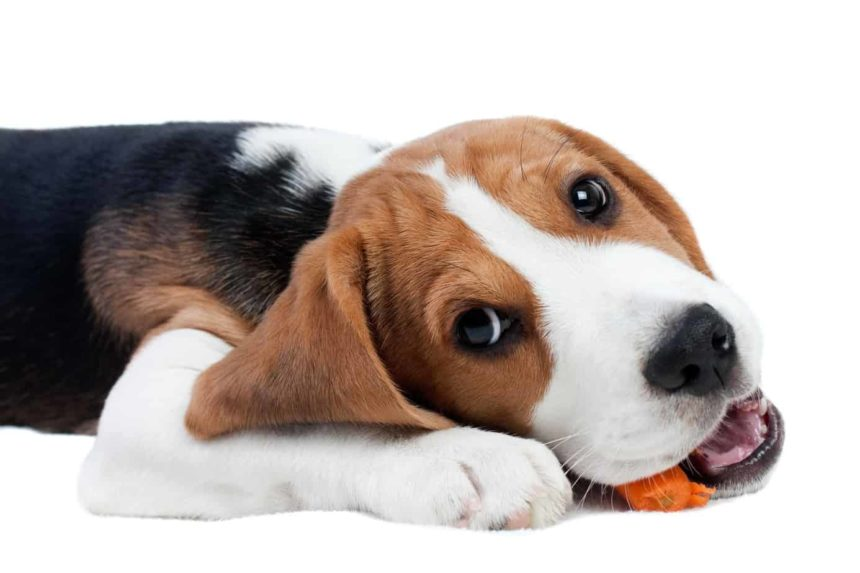 Beagle crunches on a carrot. Adding high fiber foods like carrots to your dog's diet improves digestion, maintains weight, and helps prevent colon cancer.