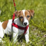 Jack Russell terrier wears a harness, which makes it easier to leash train your puppy.