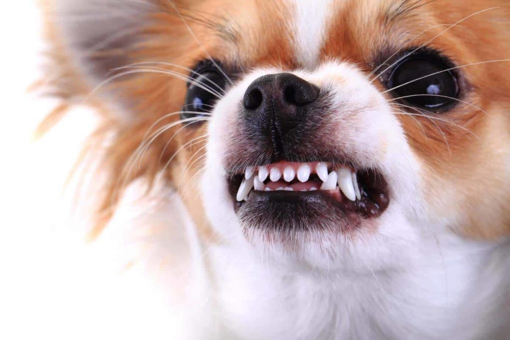 Aggressive Chihuahua shows its teeth. Work to reduce dog aggression with training.