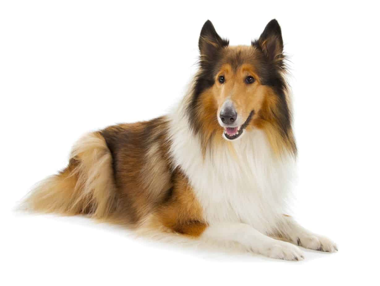 Rough collie with beautiful, long hair. Keep your dog's coat healthy by feeding a high-protein diet, bathing as needed, and daily brushing.