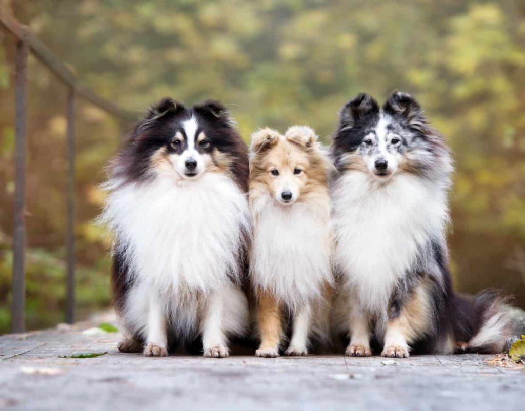 Three sheltie dogs sit together.
