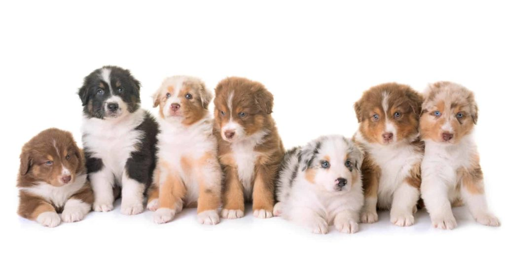 Australian Shepherd puppies show a range of colors and markings.