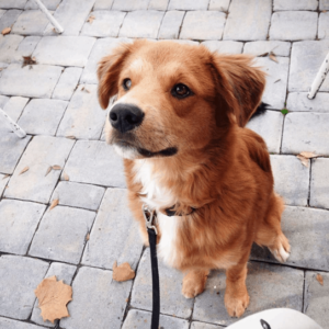 A Golden Retriever Border Collie mix puppy sits waiting for a command.