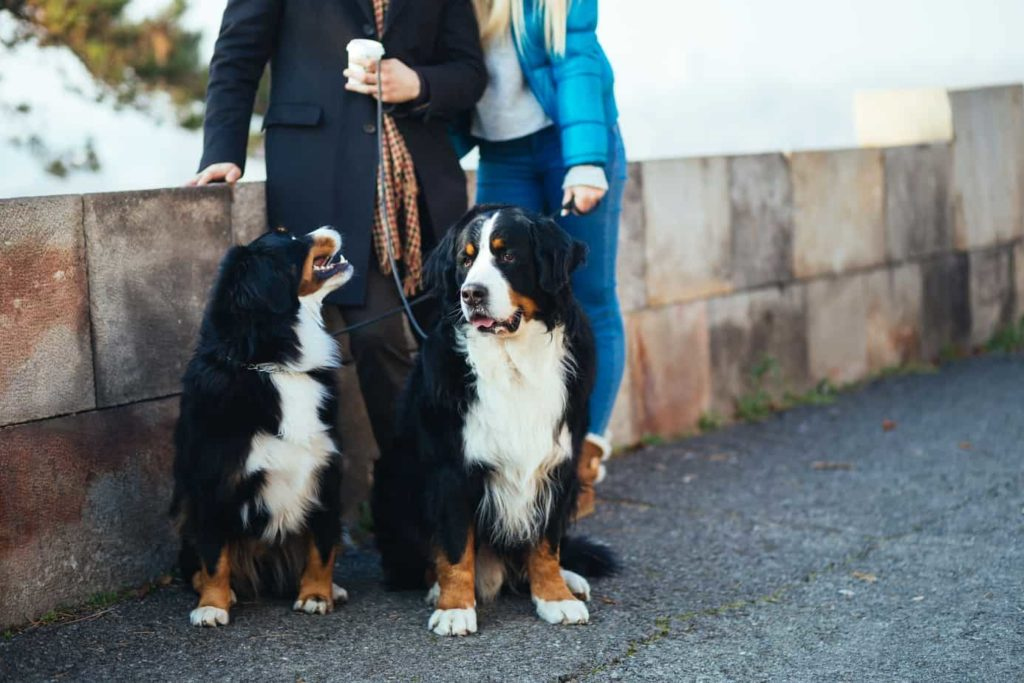 Couple poses with a pair of Bernese Mountain dogs. Adopting a dog is like dating, identify what you want but don't get too focused on appearance.